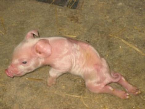 deformed piglette